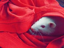 White Mouse Hiding on Red Textile stock images