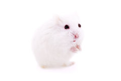 White mouse in human hand Stock Photos
