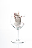 White Mouse In Glass Stock Photos