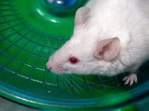 White  mouse. White laboratory mouse runs on a plastic carousel Stock Photography