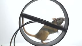 White mouse with a black eye runs slowly in the running wheel for rodents, slow motion