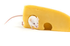 White mouse perched on a large block of cheese Stock Images