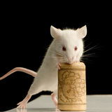 White Mouse playing. White Mouse in front of a black background stock photo