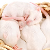 White mouse pups in a nest Royalty Free Stock Images