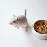 White mouse (rodent) Royalty Free Stock Images