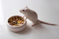White mouse (rodent) Stock Images