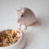 White mouse (rodent) Royalty Free Stock Photography