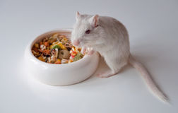 White mouse (rodent) Stock Image