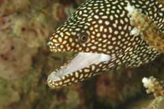 White-mouth Moray, Kapalai Island, Sabah Stock Image