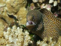White-mouth Moray Stock Photos