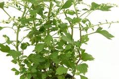 White mugwort, jing-ju-chai (Chinese) Artemisia lactiflora, Asteraceae, tree. White mugwort, jing-ju-chai (Chinese) Artemisia lactiflora, Asteraceae, tree and Stock Image
