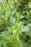 White mugwort plants Stock Photography