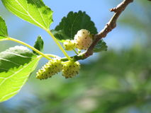 White Mulberries. Morus alba, known as white mulberry, is a short-lived, fast-growing, small to medium sized mulberry tree Royalty Free Stock Photo
