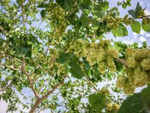 White Mulberries on branch tree Morus alba during may in a garden in Iran stock image