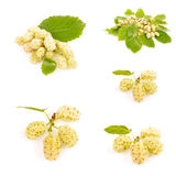 White mulberry Stock Photography