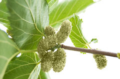 White mulberry Stock Photos