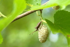 White mulberry and a bug on it. Stock Image