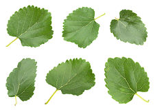 White mulberry with leaf set Stock Photos