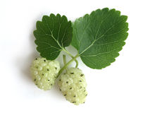 White Mulberry (Morus Alba) Royalty Free Stock Image
