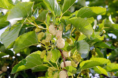 White mulberry (Morus alba) Stock Images