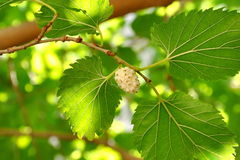 White mulberry on tree branch. Image of a unripe white mulberry on a mulberry-tree branch royalty free stock photos