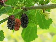 Free White Mulberry Tree (Morus Alba Stock Photography - 185295992