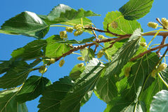 White mulberry tree Stock Photography
