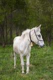 White mule Royalty Free Stock Photos