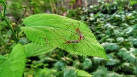 White Mullberry, Morus Alba with Crane Fly Insect royalty free stock image