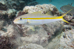 White mullet underwater Royalty Free Stock Images