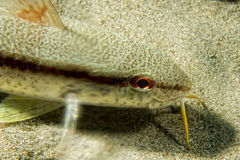 White mullet underwater Royalty Free Stock Photo