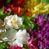 White and multicolored lily flowers on blurred background close up, soft focus lilies flower arrangement royalty free stock images