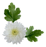 White Mum Royalty Free Stock Images