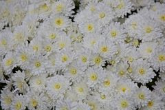White Mums Royalty Free Stock Images