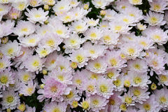 White mums flower, Chrysanthemum. Stock Image