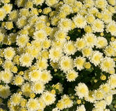White Mums with Yellow Centers Royalty Free Stock Image