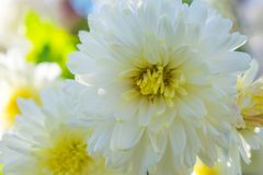 White mums with Yellow centers and tips on blurred background. Closeup white mums petals on blurred background with yellow, green. white and flowers stock photography