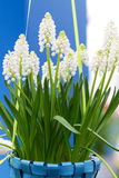 White Muscari botryoides in closeup Royalty Free Stock Photography