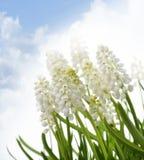 White Muscari Flowers Royalty Free Stock Image