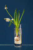 White Muscari in a transparent vase Royalty Free Stock Images