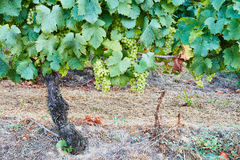 White Muscat grapevines full of almost ripe bunches of  white grape Stock Image