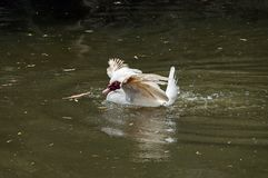 White Muscovy domestic duck Stock Image