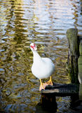 White muscovy duck (Cairina moschata) and lake Stock Image