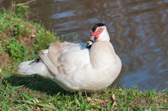 White muscovy duck on the lakefront. Royalty Free Stock Photos