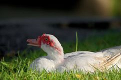 White Muscovy duck portrait Royalty Free Stock Images