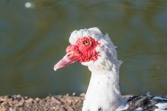 Close up of White Muscovy duck head.Selective focus. White Muscovy duck portrait Musky duck Indoda Barbary duck with red nasal corals in the public garden Stock Photography