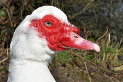 White Muscovy Duck Stock Image