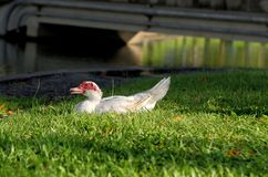 White Muscovy duck portrait Stock Photography