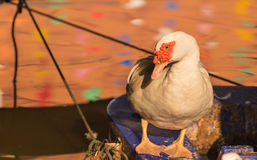 White Muscovy Duck standing Stock Photography