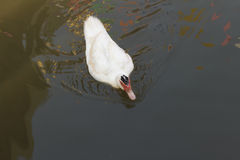 The white Muscovy Duck Royalty Free Stock Photography